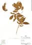 Zygia cauliflora, Peru, P. Fine 705, F
