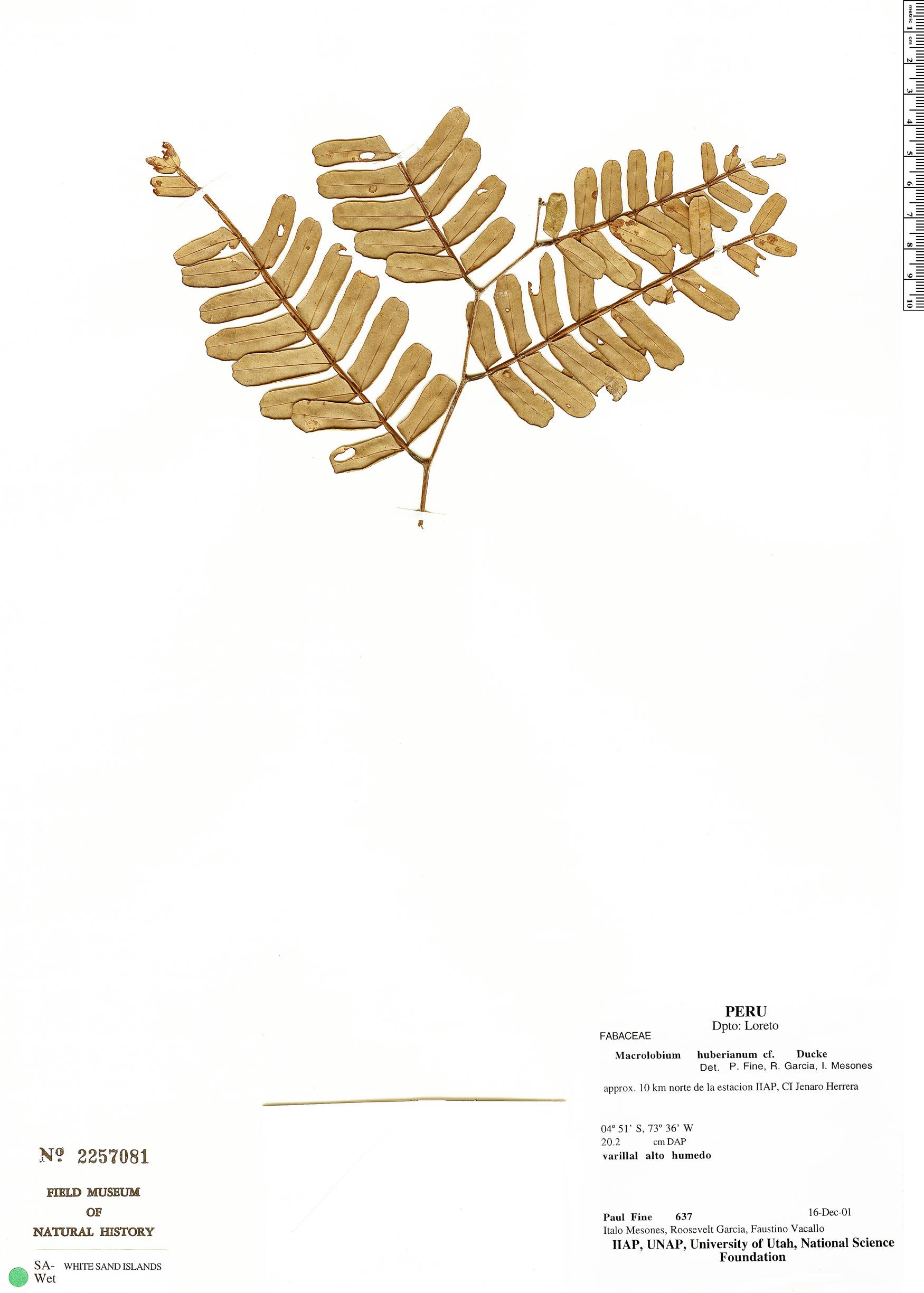 Specimen: Macrolobium huberianum