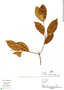 Parahancornia peruviana Monach., Peru, P. Fine 562, F