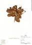 Humiria balsamifera Aubl., Peru, P. Fine 412, F