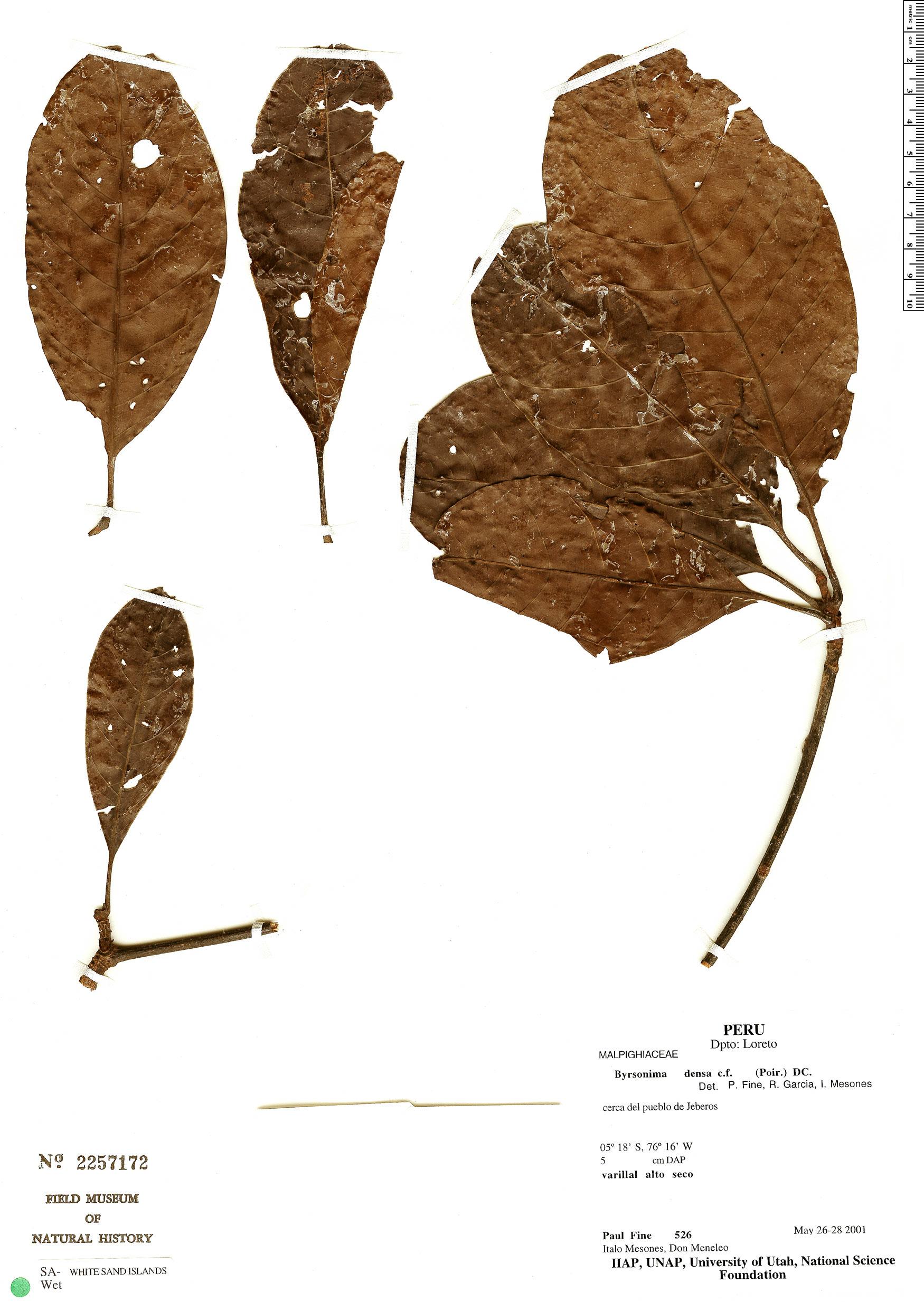 Specimen: Byrsonima densa
