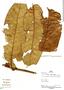 Virola calophylla (Spruce) Warb., Peru, P. Fine 727, F