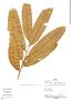 Virola pavonis (A. DC.) A. C. Sm., Peru, P. Fine 743, F