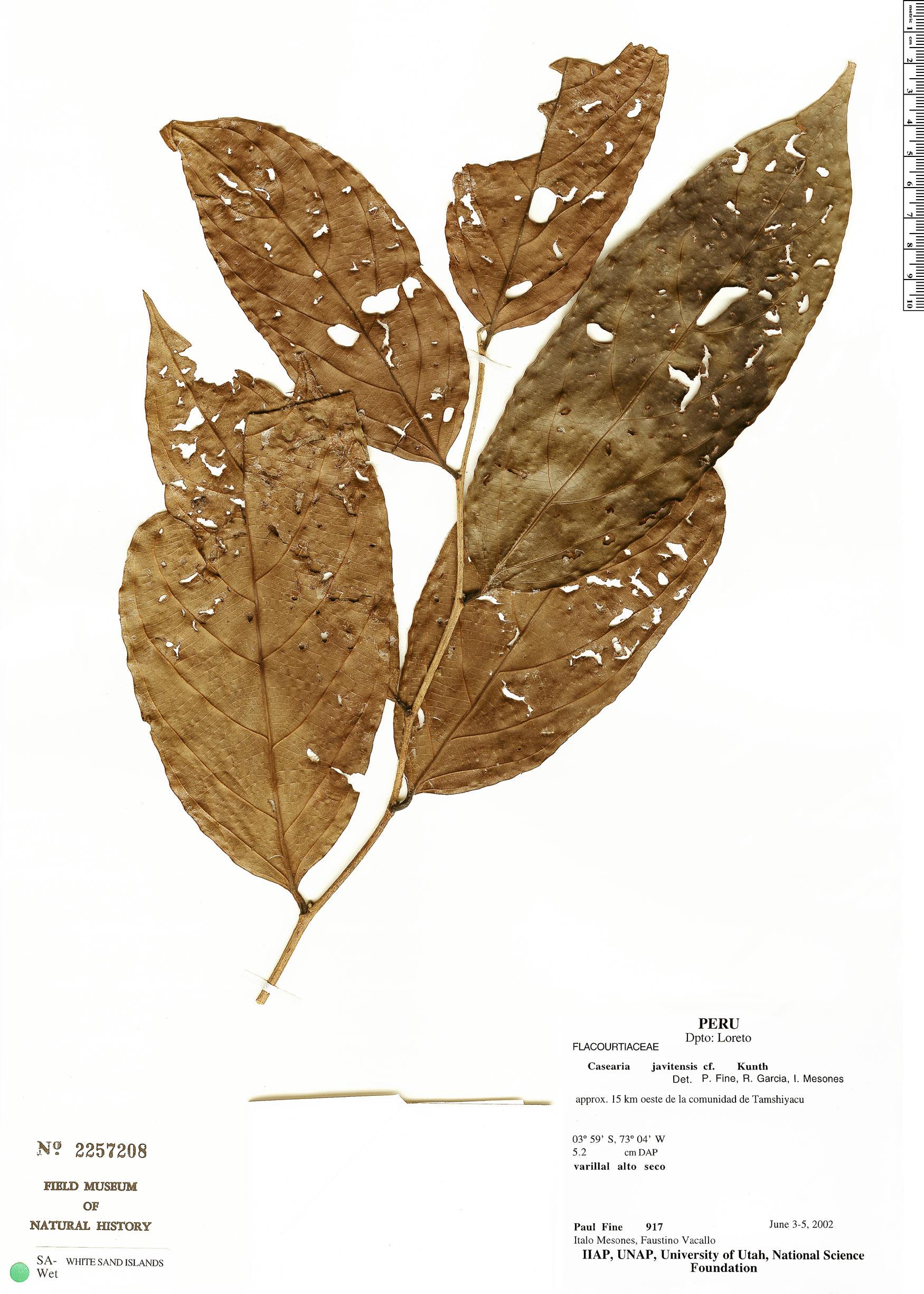 Specimen: Casearia javitensis