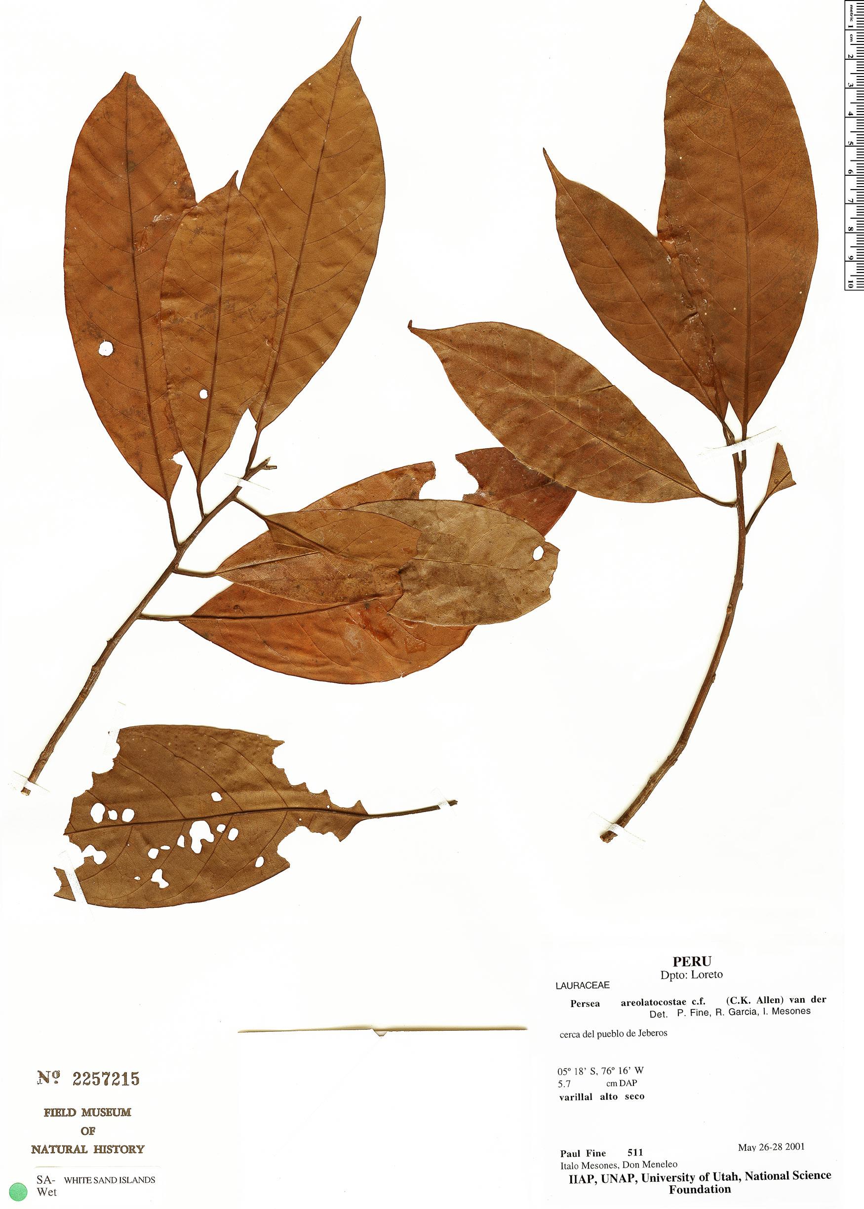Specimen: Persea areolatocostae