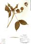Paullinia costata Schltdl. & Cham., Panama, R. Aizprúa B-4229, F