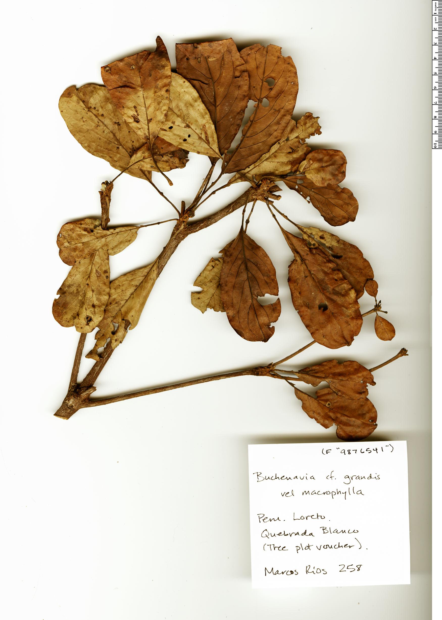 Specimen: Buchenavia macrophylla