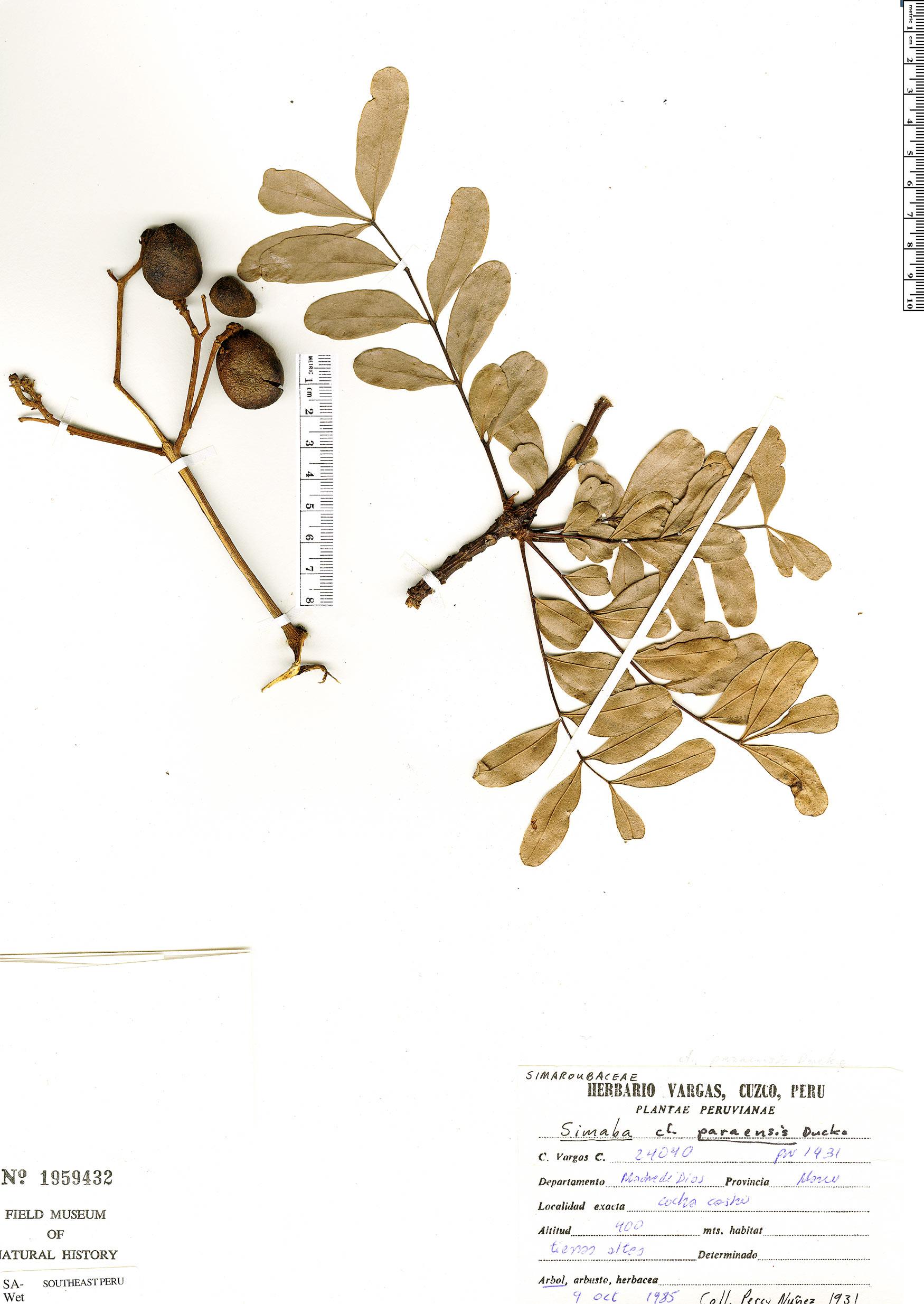 Specimen: Simaba paraensis