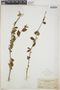 Adelia oaxacana (Müll. Arg.) Hemsl., Mexico, C. A. Purpus 5498, F