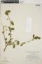 Adelia oaxacana (Müll. Arg.) Hemsl., Mexico, J. Rzedowski 23346, F
