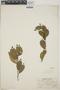 Adelia oaxacana (Müll. Arg.) Hemsl., Mexico, L. A. Kenover 993, F