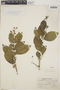 Adelia oaxacana (Müll. Arg.) Hemsl., Mexico, L. A. Kenover 878, F