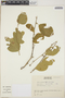 Adelia oaxacana (Müll. Arg.) Hemsl., Mexico, J. A. Solís Magallanes 3956, F