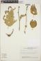 Adelia oaxacana (Müll. Arg.) Hemsl., Mexico, E. J. Lott 1611, F