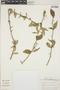 Adelia oaxacana (Müll. Arg.) Hemsl., Mexico, D. White 102, F