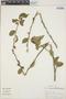 Adelia oaxacana (Müll. Arg.) Hemsl., Mexico, D. White 100, F