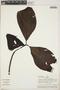 Couma macrocarpa Barb. Rodr., Peru, A. H. Gentry 25208, F
