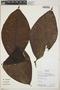 Couma macrocarpa Barb. Rodr., Bolivia, L. Vargas 988, F