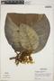Macropharynx spectabilis (Stadelm.) Woodson, Peru, M. Rimachi Y. 144, F