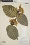 Macropharynx spectabilis (Stadelm.) Woodson, Peru, T. B. Croat 18648, F