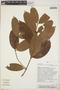 Parahancornia peruviana Monach., Peru, Rod. Vasquez 14985, F