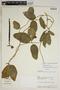 Prestonia mollis Kunth, Ecuador, A. H. Gentry 72379, F