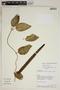 Prestonia mollis Kunth, Ecuador, A. H. Gentry 72720, F