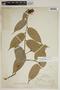 Cavendishia bracteata (Ruíz & Pav. ex J. St.-Hil.) Hoerold, Peru, F. W. Pennell 14015, F