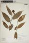 Cavendishia bracteata (Ruíz & Pav. ex J. St.-Hil.) Hoerold, Peru, R. B. Foster 10280, F