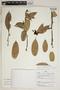 Cavendishia bracteata (Ruíz & Pav. ex J. St.-Hil.) Hoerold, Peru, B. Boyle 4486, F