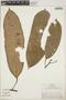 Euphorbiaceae, Peru, R. B. Foster 4808, F