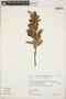 Gaultheria reticulata Kunth, Peru, K. S. Zimmerer 312, F