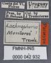 Lachnophorus montoroi PT labels