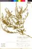 Flora of the Lomas Formations: Lepidium virginicum L., PERU, S. Llatas Quiroz 2013, F
