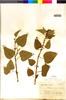 Flora of the Lomas Formations: Salvia formosa L'Hér., PERU, J. J. Soukup 2923, F