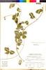 Macroptilium atropurpureum image