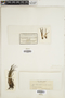 Isoetes lacustris image