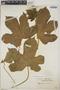 Cnidoscolus urens (L.) Arthur, Martinique, A. Duss 2049, F