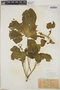 Cnidoscolus urens (L.) Arthur, Grenada, W. E. Broadway, F