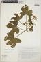 Cnidoscolus urens (L.) Arthur, Mexico, J. I. Calzada 8536, F