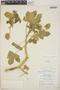 Cnidoscolus urens (L.) Arthur, Mexico, R. M. King 4188, F