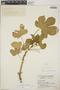 Cnidoscolus urens (L.) Arthur, Guatemala, J. A. Steyermark 29289, F