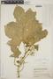 Cnidoscolus urens (L.) Arthur, Guatemala, P. C. Standley 73863, F