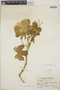 Cnidoscolus urens (L.) Arthur, Guatemala, P. C. Standley 71897, F