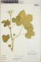 Cnidoscolus urens (L.) Arthur, Honduras, G. L. Webster 12008, F