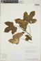 Cnidoscolus urens (L.) Arthur, Honduras, C. Nelson 6914, F