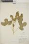 Cnidoscolus urens (L.) Arthur, Honduras, J. B. Edwards P-701, F