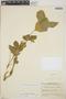 Cnidoscolus urens (L.) Arthur, Honduras, P. C. Standley 24293, F