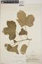Cnidoscolus urens (L.) Arthur, Nicaragua, P. C. Standley 9187, F