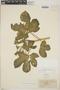 Cnidoscolus urens (L.) Arthur, Nicaragua, C. L. Smith 102, F
